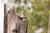 A Northern Hawk Owl sits atop his nest in the recess on the broken top of a snag.