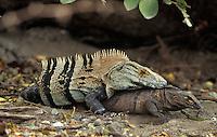 Spiny-tailed Iguanas; Ctenosaura similis; mating; Costa Rica, Santa Rosa NP