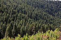Camanducaia_MG, Brasil...Plantacao de pinheiros em Camanducaia...The pine tree plantation in Camanducaia...Foto: LEO DRUMOND / NITRO.....