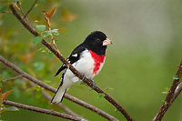 Male ROSE-BREASTED GROSBEAK (Pheucticus ludovicianus).  Spring.