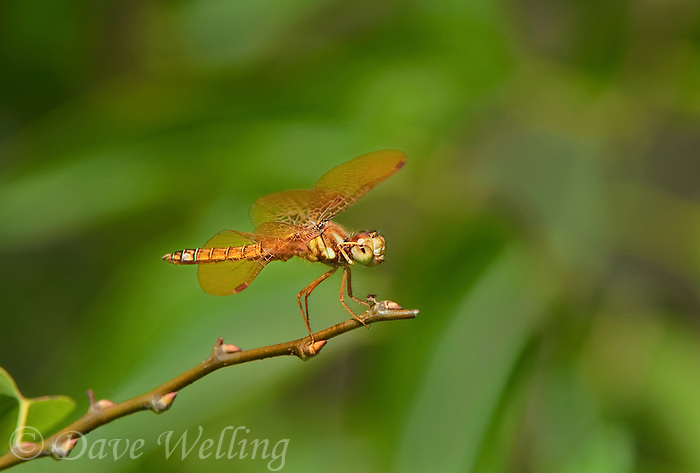 304560009 a wild male eastern amberwing dragonfly perithemis tenera perches on a dead grass stem at santa ana national wildlife refuge rio grande valley texas united states