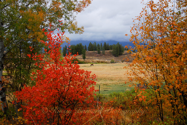 Autumn colors, horses grazing in Kootenai Country Montana