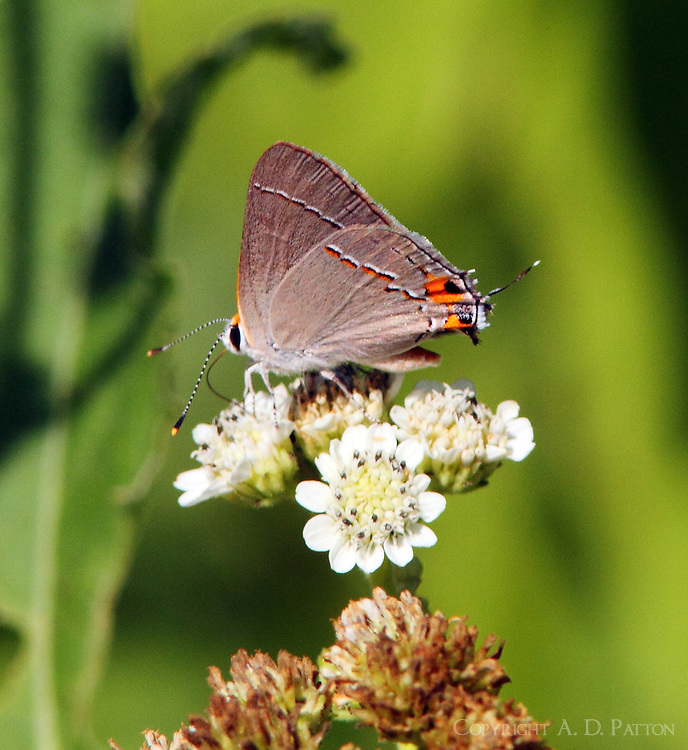 Red-crescent scrub-hairstreak