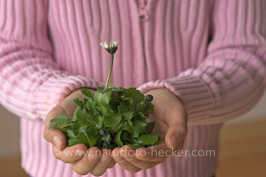 Mädchen mit Gänseblümchen-Pflanze in den Händen, Hand, Gänseblümchen, Maßliebchen, Bellis perennis, English Daisy, Pâquerette