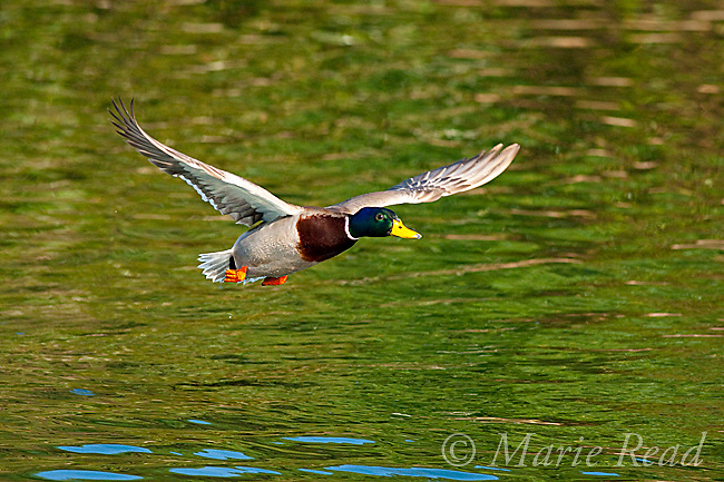 Mallard (Anas platyrynchos) male in flight, California, USA