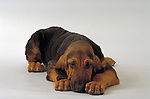 bloodhound  on white seamless<br />