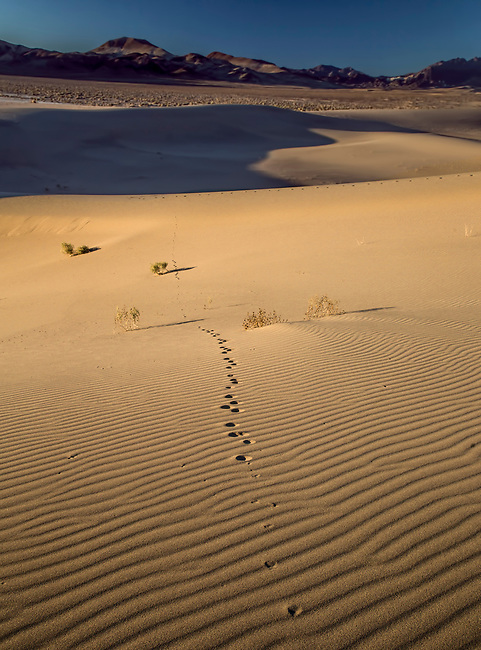 Tracks from wildlife seen at Ibex Dunes in a remote part of Death Valley National Park, California