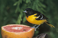 Baltimore Oriole, Icterus galbula, male feeding on grapefruit, South Padre Island, Texas, USA, May 2005
