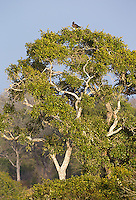 The martial eagle is Africa's largest eagle species.  Unfortunately, this one was perched very far away.