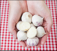 BNPS.co.uk (01202 558833)<br /> Pic: LauraJones/BNPS<br /> <br /> Genius farmers have put an end to the fiddly and frustrating task of peeling pungent garlic - by inventing a revolutionary bulb made entirely of one clove.<br /> <br /> The unique single clove garlic looks like a normal bulb but rather than being made up of many small cloves it comprises just one, more like an onion.<br /> <br /> It only has to be peeled once, not only saving cooks from the laborious process of removing its paper-like outer skin but also from getting smelly fingers.<br /> <br /> It can then be chopped and then the rest can be stored in the fridge.<br /> <br /> The clever product has recently hit the shelves of British supermarket Lidl, the UK's only single clove garlic supplier.<br /> <br /> A 250g basket containing around eight single cloves costs &pound;1.49.