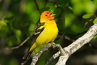 Adult male Western Tanager (Piranga ludoviciana) in breeding plumage singing. Yakima County, Washington. May.