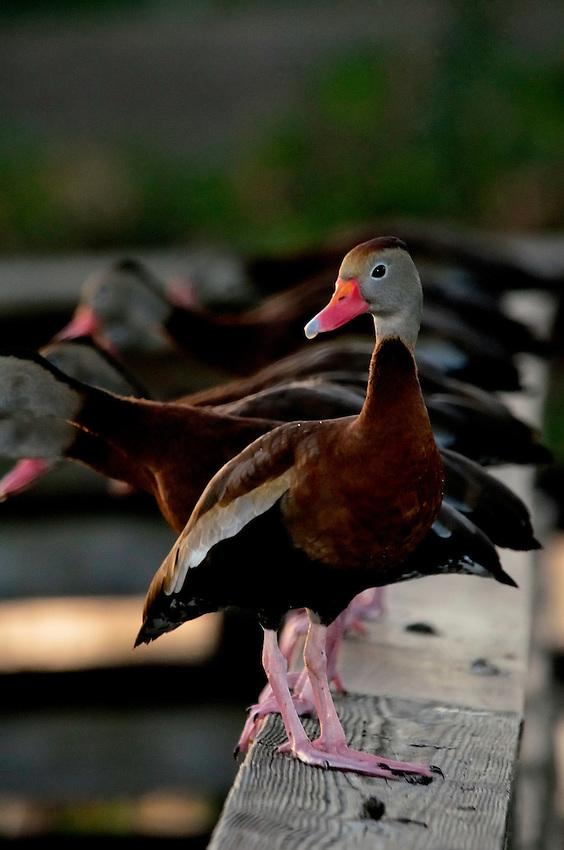 Black-bellied Whistling Duck with friends.  Wakodahatchee Wetlands, Delray Beach, FL, United States