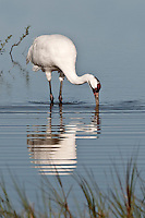 Whooping Crane with reflection in water