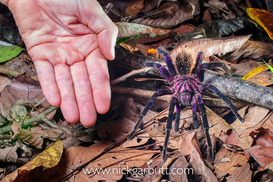 Colombian Purple Bloom Tarantula (Xenesthis immanis) on forest floor with human hand for scale (leg span 22-23cm). Paujil Nature Reserve, Magdalena Valley, Colombia. Endemic