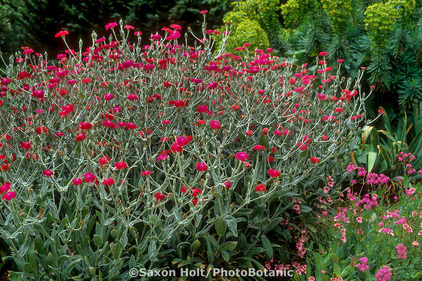 Lychnis coronaria (Rose Campion) red flowering perennial in garden