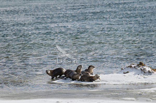 Northern River Otter (Lontra canadensis)--one otter tries to eat fish while others look to steal a bite.