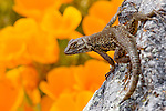 Western Fence Lizard (Sceloporus occidentalis) male on rock with California Poppy (Eschscholzia californica) flowers in background, San Simeon, Big Sur, California