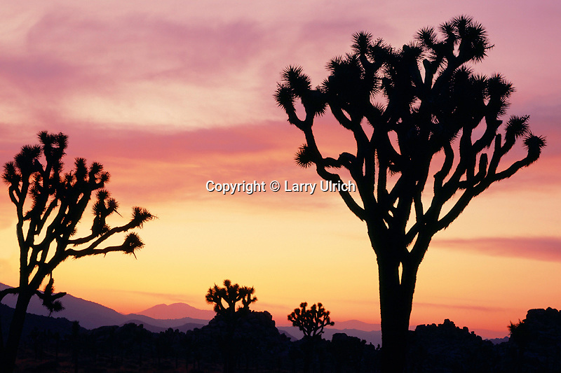 Joshua trees at sunset<br />   near West Entrance<br /> Joshua Tree National Park<br /> Mojave Desert,  California