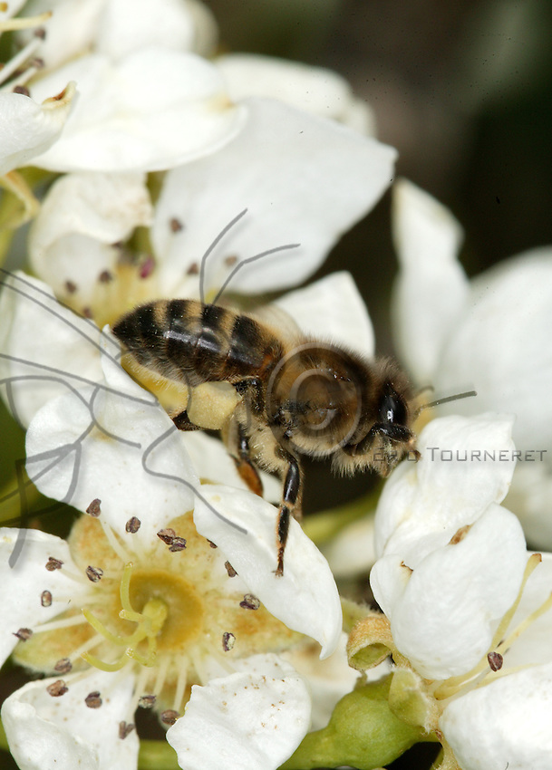 A bee on a pear flower.