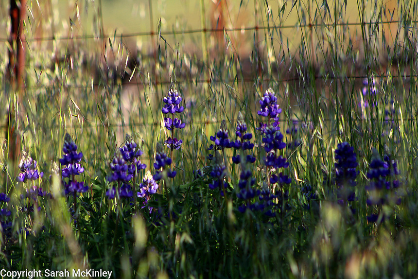 Lupine in the dappled morning sun along a fence on Highway 128 between Geyserville and Calistoga in Napa County in Northern California.