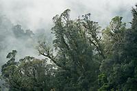 Native rainforest near Franz Josef Glacier, Westland Tai Poutini National Park, UNESCO World Heritage Area, South Westland, New Zealand, NZ