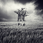 Conceptual image of three sheep in a field of wheat with an old tree