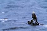 A bald eagle sitting on a log on the Fraser River, British Columbia, Canada.