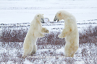 01874-12519 Two Polar bears (Ursus maritimus) sparring in winter, Churchill Wildlife Management Area, Churchill, MB Canada