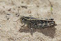 Italienische Schönschrecke, Calliptamus italicus, Calliptenus cerisanus, Italian locust, le Criquet italien, Caloptène italien