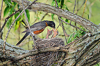 Anmerican Robin (Turdus migratorius) adult feeds days-old chicks on nest, spring, Great Lakes Region, North America.