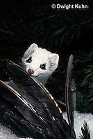 MA04-003x  Short-Tailed Weasel - ermine with bird prey in winter - Mustela erminea
