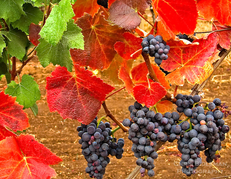 Gift card photo (set of 4) of amazing fall colors that pinot noir grapes can take on with red and green leaves like Christmas