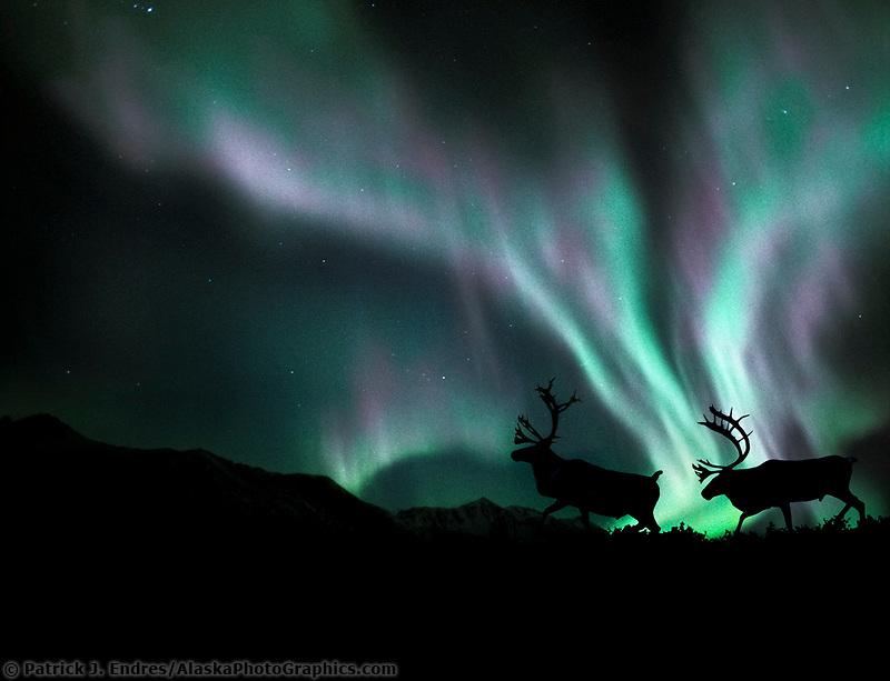 DIGITAL COMPOSITE: Bull caribou prance in front of the northern lights, Alaska
