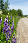 Lupine along Valley Road in Jefferson, New Hampshire USA
