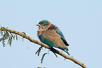 Indian Roller - Coracias benghalensis