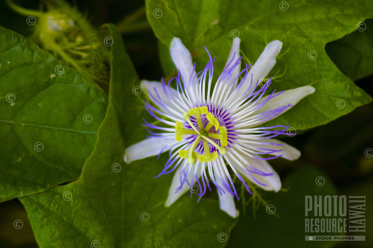 Close up of a Lilikoi or passion fruit ( Passiflora edulis var. flavicarpa) blossom and leaves