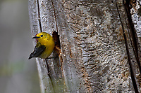 Female Prothonotary Warbler (Protonotaria citrea) at nest cavity in dead snag.  Great Lakes Region, May.