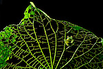 Emerald Glass Frog (Centrolenella prosoblepon) on a Piper leaf skeletonized by caterpillars, Costa Rica