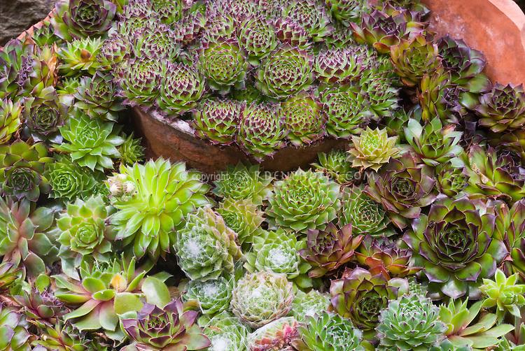 Sempervivum mixture variety in pot containers, succulent perennials plants