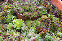 Sempervivum mixture variety in pot containers, succulent perennials plants