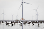 Huge installations of offshore wind turbines pose another obstacle to migratory shorebirds like these Dunlin in the Yellow Sea. Rudong, China. October.