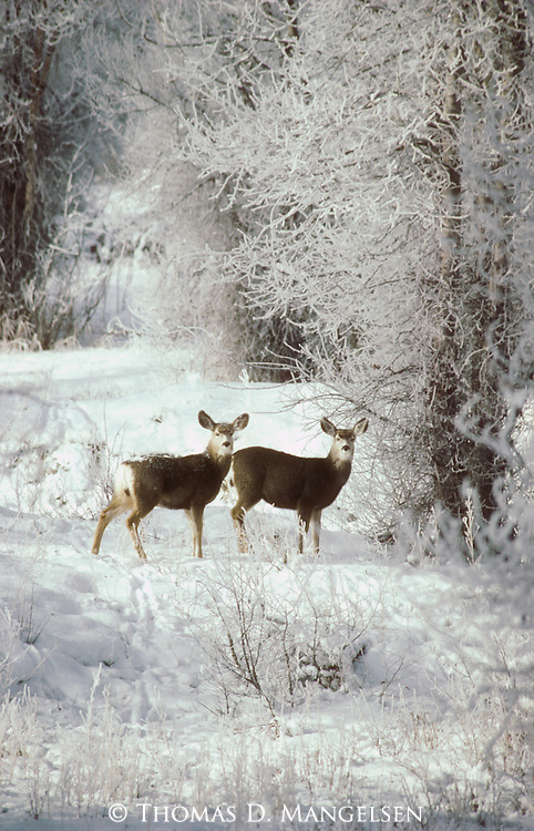 A doe and and a yearling mule deer pause in a snowy clearing in Grand Teton National Park, Wyoming.