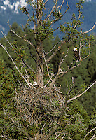 Bald Eagles at nest in ponderosa pine tree.  Western North America.  Spring.