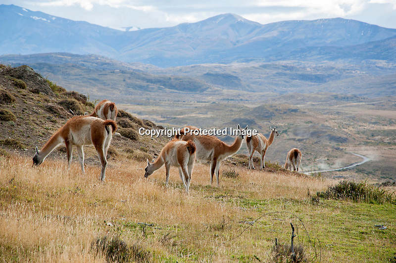 Herd of Guanacos in the Mountains of Torres del Paine National Park in Patagonia Chile