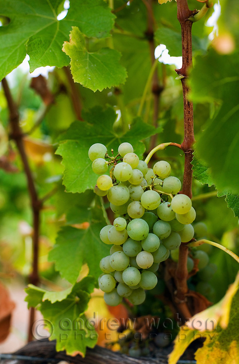 Semillon grapes on the vine.  Margaret River, Western Australia, AUSTRALIA.