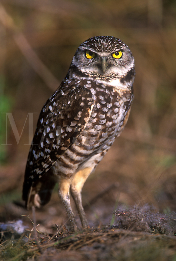 Burrowing Owl next to nest burrow, Cape Coral, Flrida
