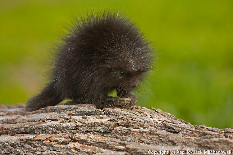 Common Porcupine (Erethizon dorsatum), baby climbing on log, Kettle River, Minnesota, USA, captive animal animal-baby baby-animal baby-porcupine common-porcupine innocence juvenile mammal naivet? natural natural-world nature porcupine untamed wild wildlif