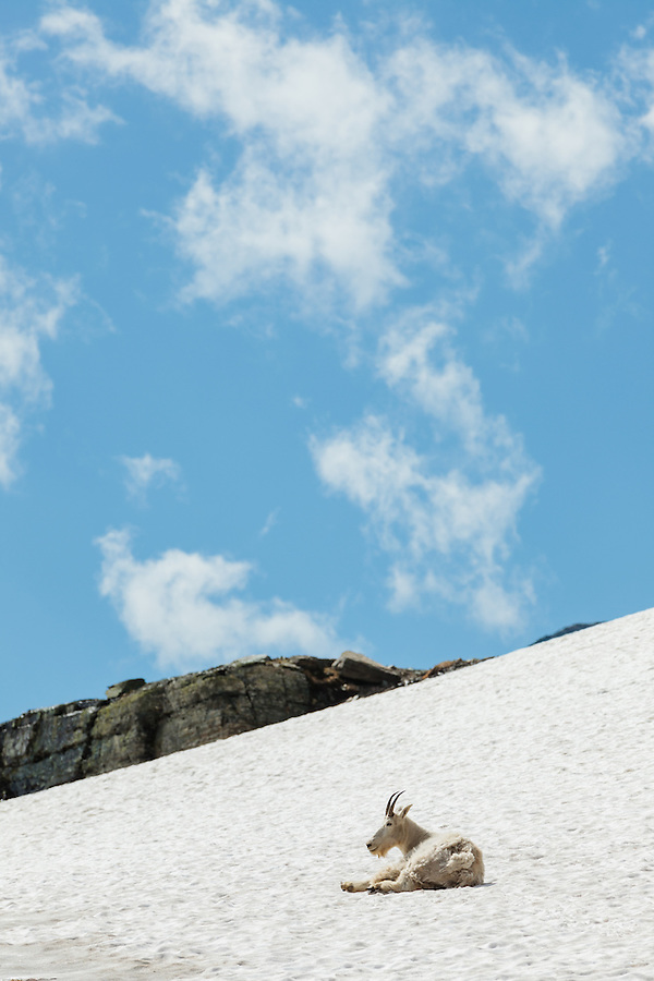 A mountain goat rests on a snowfield near Logan Pass in Glacier National Park, Montana.