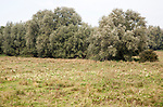 Willow trees and summer meadow pasture on flood plain land of River Deben, Woodbridge, Suffolk, England, UK