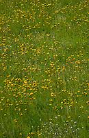 Dandylion flowers in meadow. Imst district, Tyrol/Tirol, Austria, Alps.